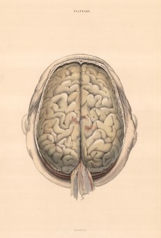 """William Home Lizars, Brain dissection showing the gyri, as seen from above, c.1822. An original colour steel-engraving. 10"""" x 17"""". £POA."""