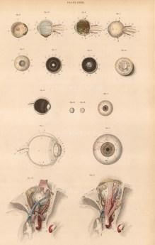 "William Home Lizars, eye and optic nerve studies, plate LXXXI. c.1822. An original colour steel-engraving. 10"" x 17. £POA."
