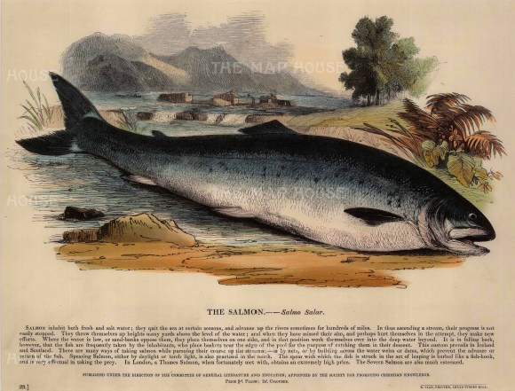 The Society for the Promotion of Christian Knowledge: Salmon. c.1860. A hand-coloured original wood-engraving. 13 x 11 inches. [NATHISp6612]