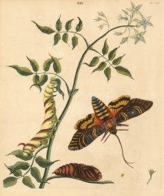 "Benjamin Wilkes, 'Sphynx Aropos - Jasmine Hawk Moth - and Jasmininum Officinale - Common Jasmine', 1773. 10"" x 12""."