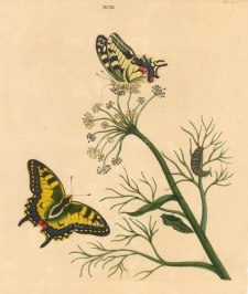 """Benjamin Wilkes, 'Swallow Tail Butterfly - Papilia Machaon - and Fennel Antethum Foenculum', 1773. An original colour copper-engraving. 10"""" x 12""""."""
