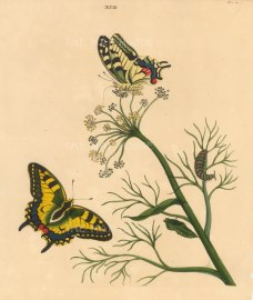 "Benjamin Wilkes, 'Swallow Tail Butterfly - Papilia Machaon - and Fennel Antethum Foenculum', 1773. An original colour copper-engraving. 10"" x 12""."