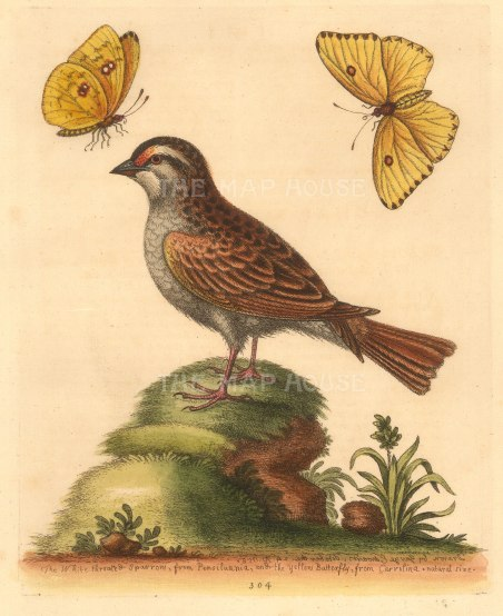 George Edwards: American Sparrow with Yellow Carolinian butterfly. 1760. A hand-coloured original etching. 8 x 10 inches. [NATHISp7232]