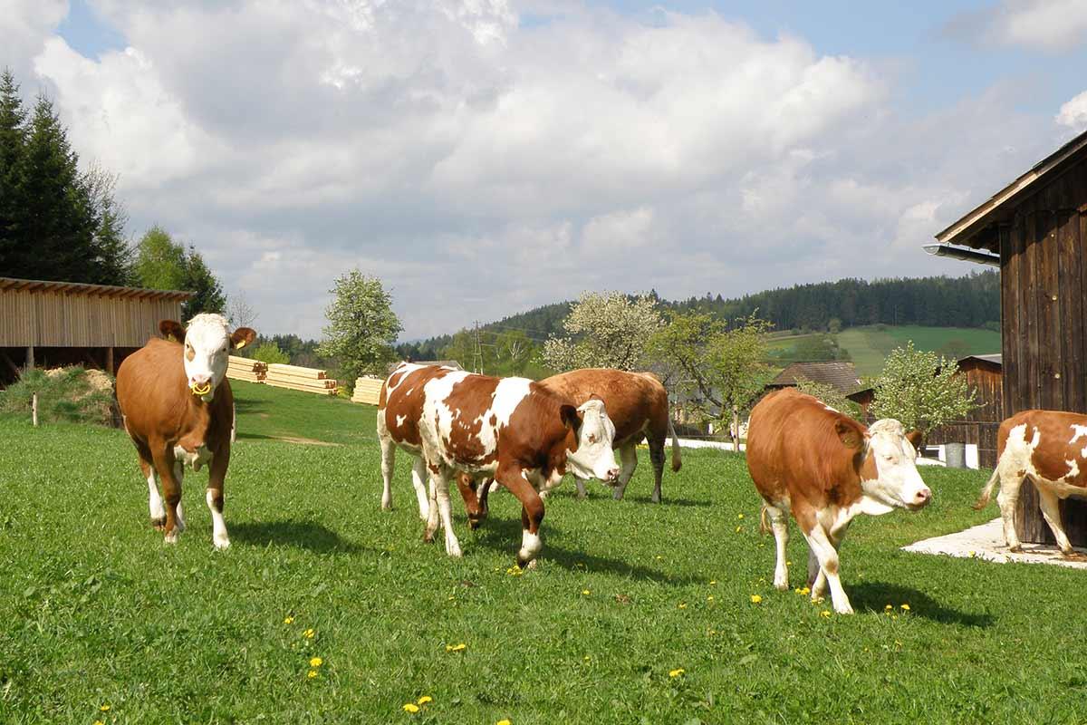 Die Prinzen-Kühe