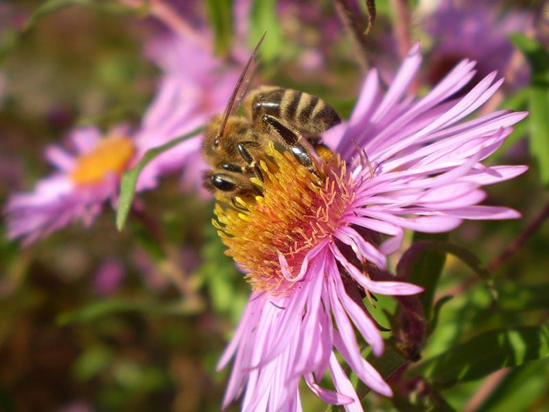 Biene auf Aster, Prinzenhof