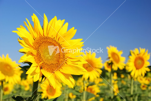 sunflowers in the field in summer