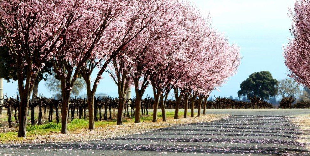 Spenker Winery Cherry Blossoms