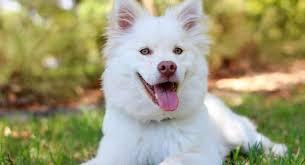 Pas  - kucni ljubimac
