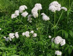 Valerijana  lekovita biljka