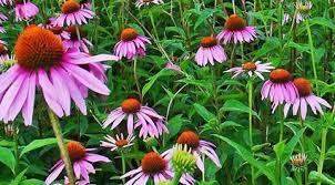 Lekovita biljka kanadska zutika