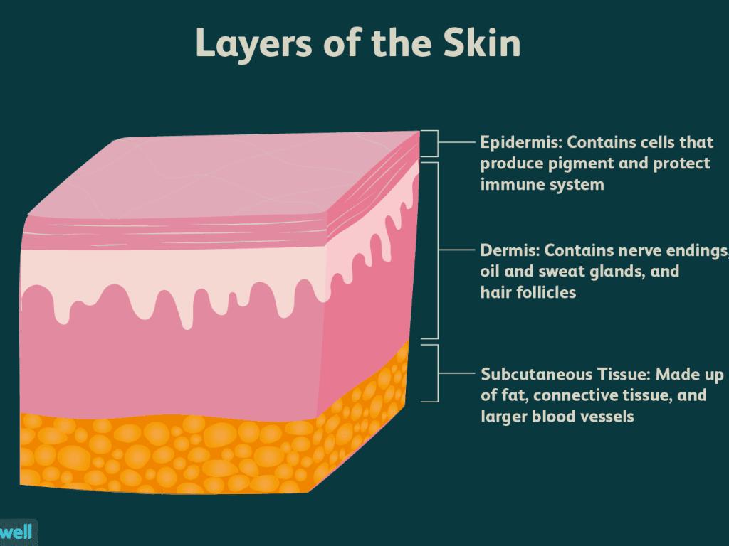 Three Main Layers of the Skin