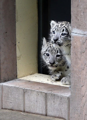 Snow Leopards at Cape May County Zoo in New Jersey
