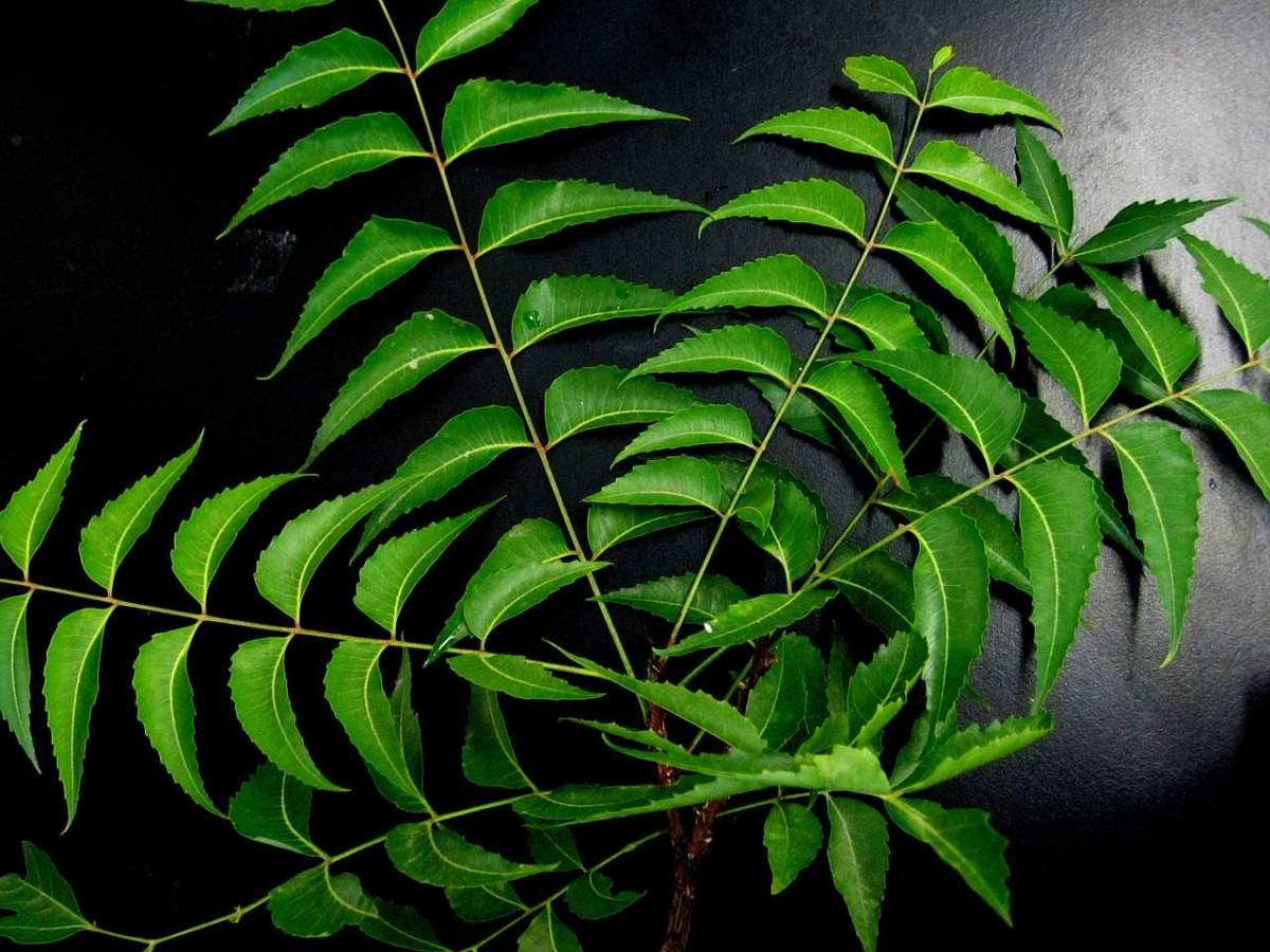 Neem Oil In Gardening