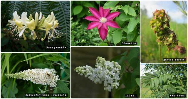 Calcicole-plant