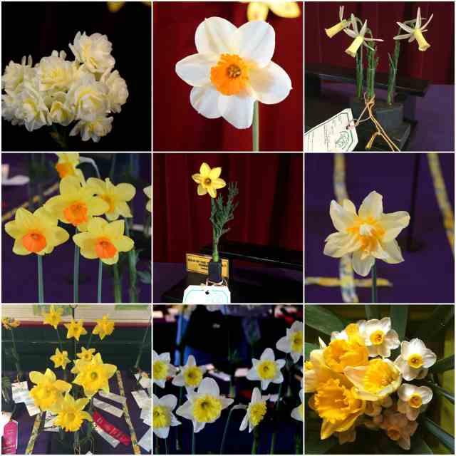 julian daffodil show