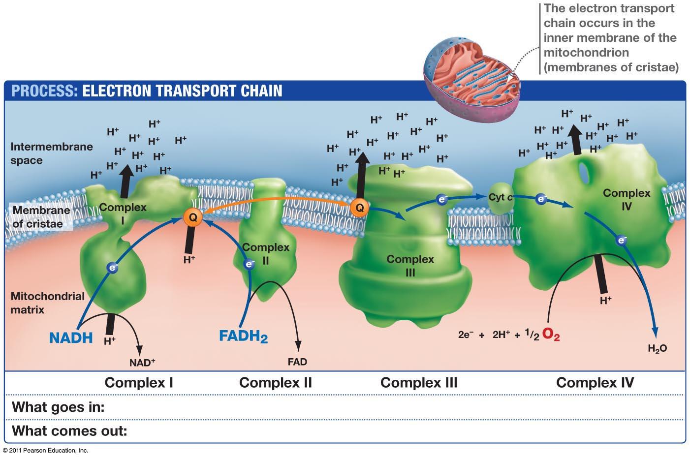 Electron Transport Chain Etc Pritishenoyindia