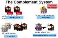 How the complement system works