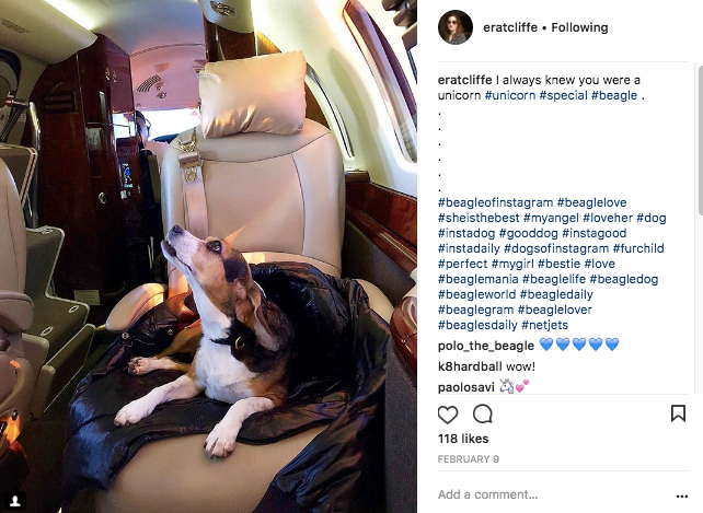 A Beagle dog on a private jet