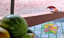 papaya for the red bird