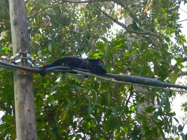 howler monkey on a wire