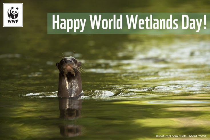 Giant Otter (Pteronura Brasiliensis) In The Rewa River, Iwokrama Reserve, Guyana, Endangered Species