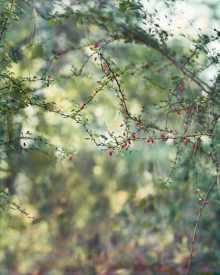 Red Berries 2016