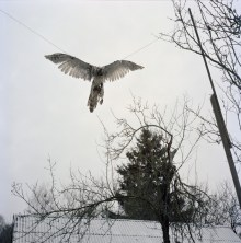 """Hanna Zavarotnya's trophy falcon. """"He came and ate my chicken, so I beat him with a stick"""" - Hanna strung up the falcon and hung him on a tree to..."""