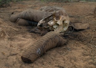 Elephant killed for its tusks, Namunyak Wildlife Conservancy