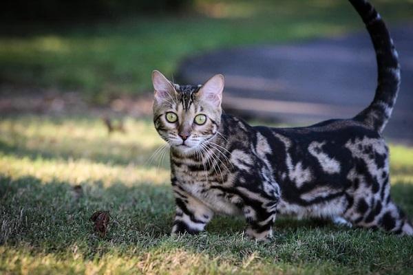 kucing marmer
