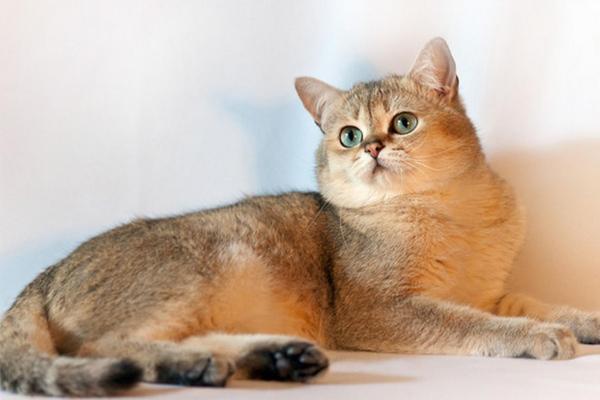 Kucing Inggris Emas