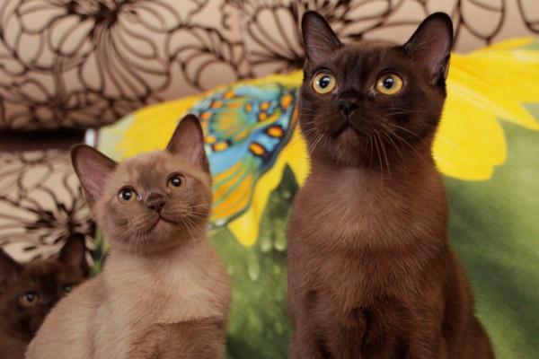 Anak kucing Burma