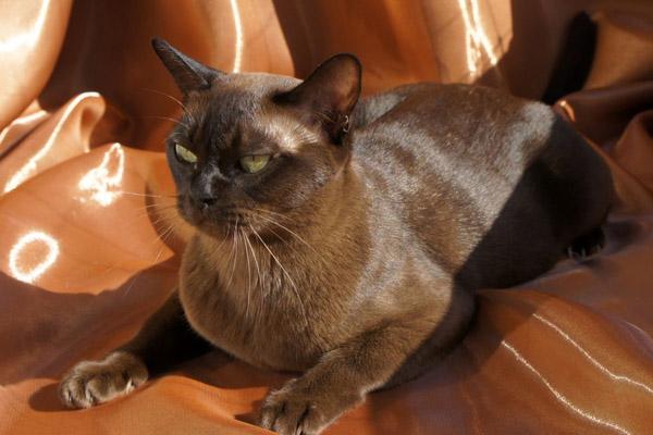 Bulu kucing mengkilap