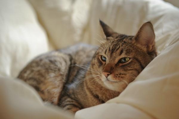 Seekor kucing dewasa sedang beristirahat di dalam selimut