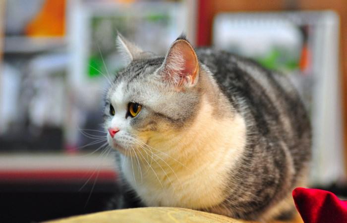 Kucing itu berbentuk bola