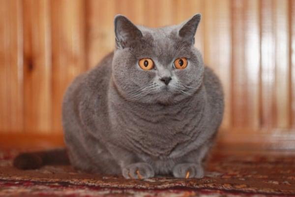 kucing biru inggris