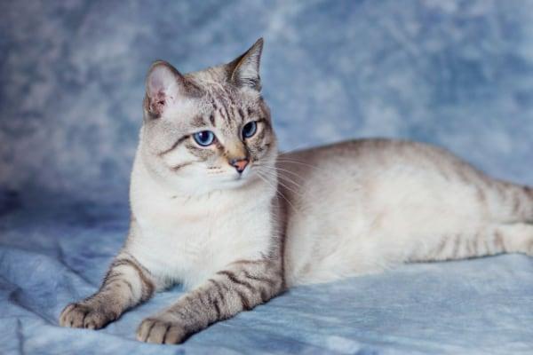 Kucing Inggris Lynx
