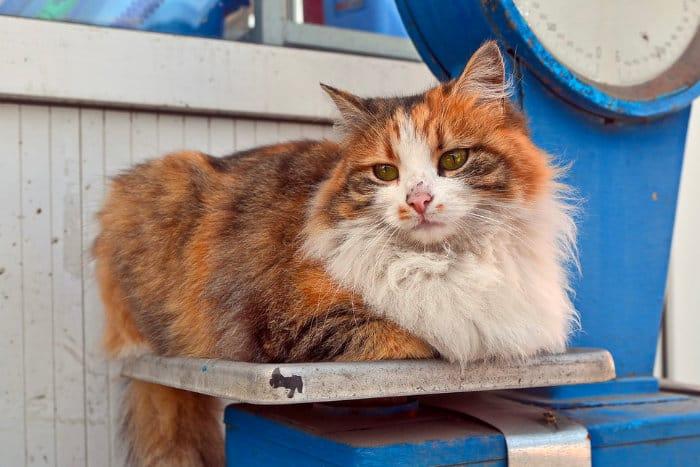 Menentukan berat normal kucing