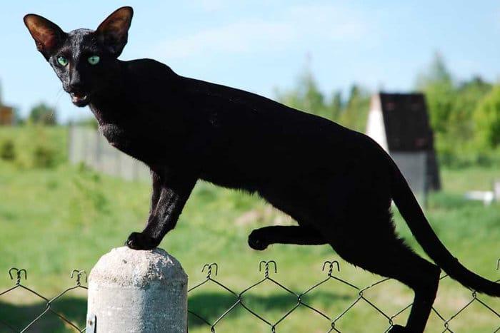 kucing ramping