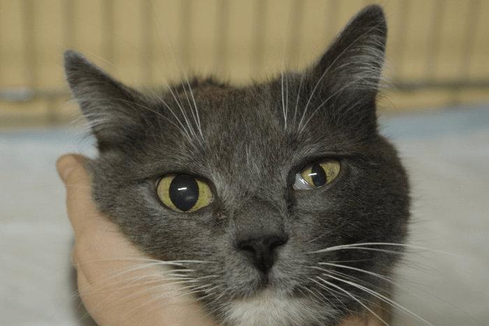 Kelopak mata ketiga yang terlihat pada kucing