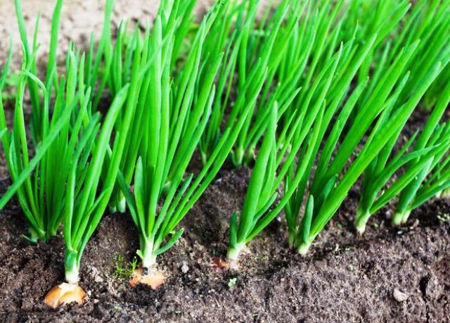 Когда и как сажать лук порей на рассаду по Лунному календарю в 2019 году
