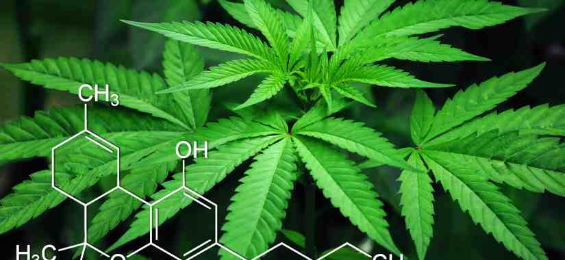 Marijuana plant leaf with chemical compound diagram