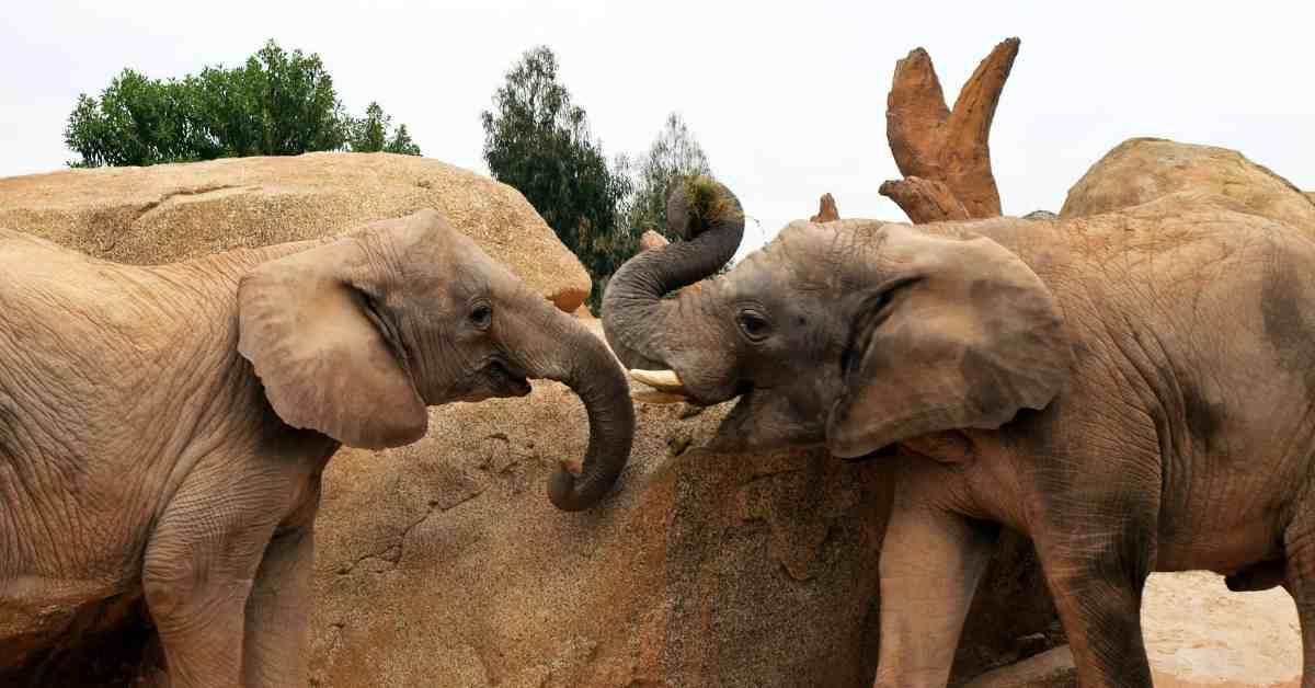 Two elephants in captivity