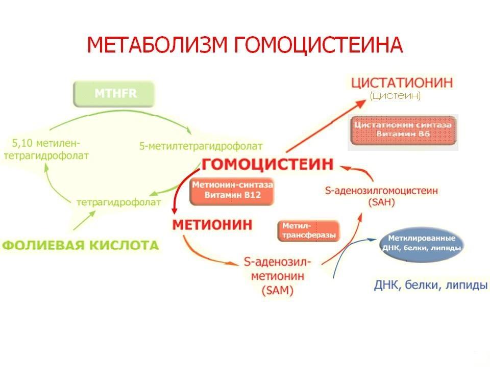 метаболизм гомоцистеиина
