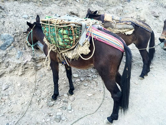 The 2 day Colca Canyon Hike is an amazing experience in the Colca Canyon near Arequipa, Peru. Mani the Manic Mule shares the two sides of my story.