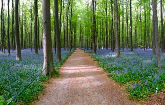 How I Got Into A Fight at Bluebell Forest Hallerbos Belgium