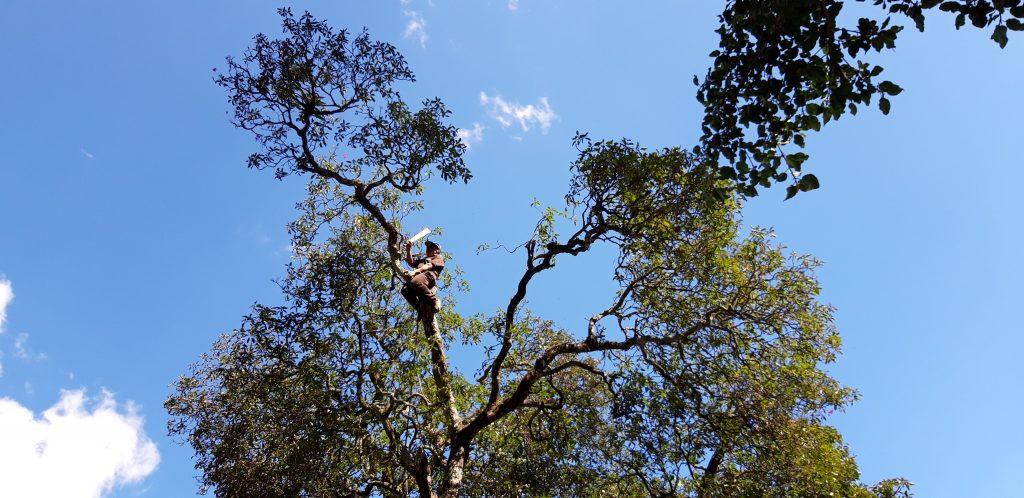 El famoso árbol de esquisúchil es podado