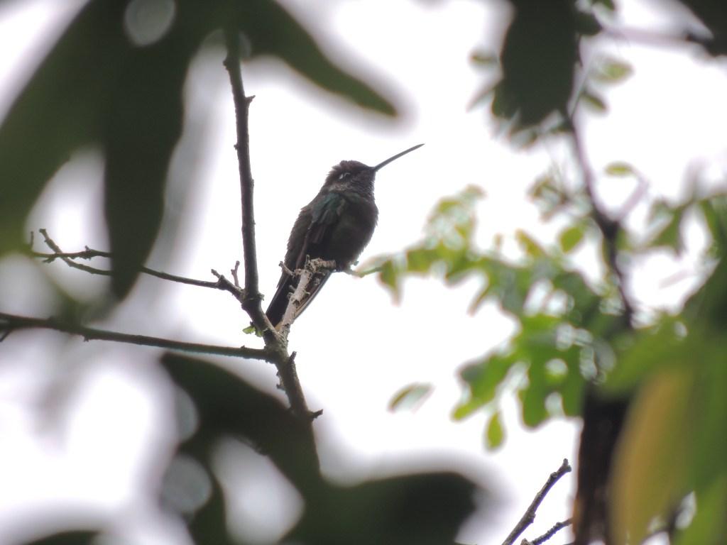 Colibrí del género Eugenes Fulgens o Colibrí Magnífico.