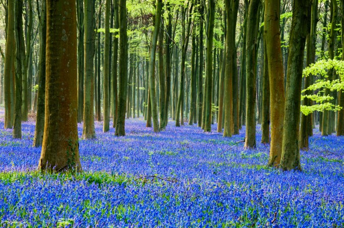 Forest of slender trees with a huge patch of bluebell flowers colored blue and purple covering the forest floor