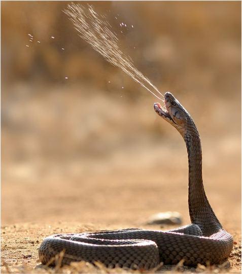 Cobra escupidora.
