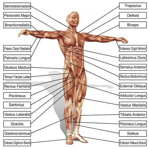 Músculos y tendones del cuerpo humano